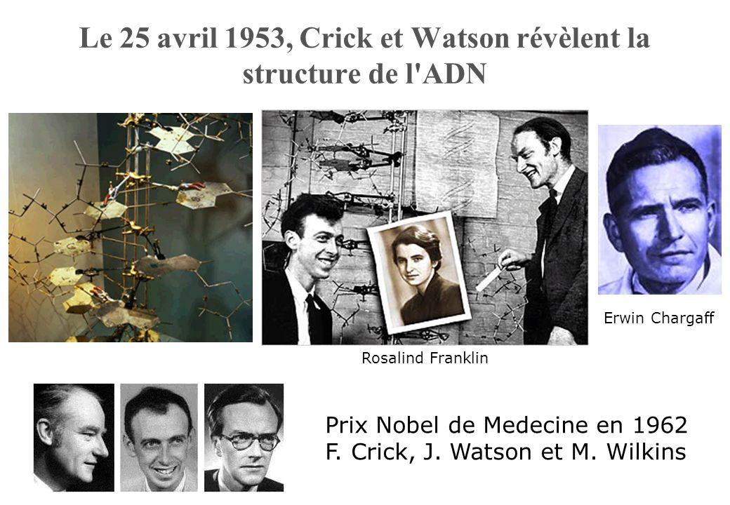Le 25 avril 1953, Crick et Watson révèlent la structure de l'ADN Prix Nobel de Medecine en 1962 F. Crick, J. Watson et M. Wilkins Erwin Chargaff Rosal