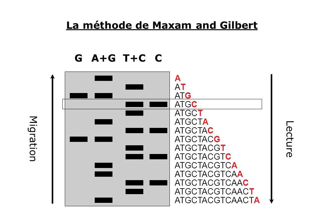 La méthode de Maxam and Gilbert CG ATGCTACGTCAACTA ATGCTACGTCAACT ATGCTACGTCAAC ATGCTACGTCAA ATGCTACGTCA ATGCTACGTC ATGCTACGT ATGCTACG ATGCTAC ATGCTA