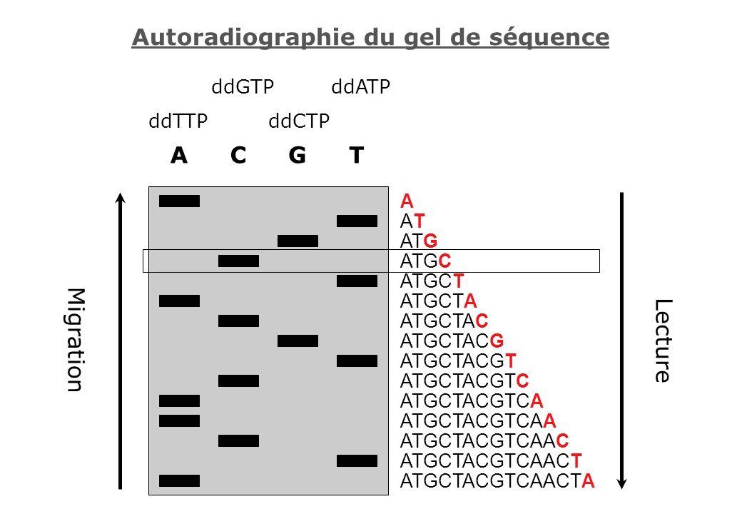 Autoradiographie du gel de séquence ACGT ATGCTACGTCAACTA ATGCTACGTCAACT ATGCTACGTCAAC ATGCTACGTCAA ATGCTACGTCA ATGCTACGTC ATGCTACGT ATGCTACG ATGCTAC A
