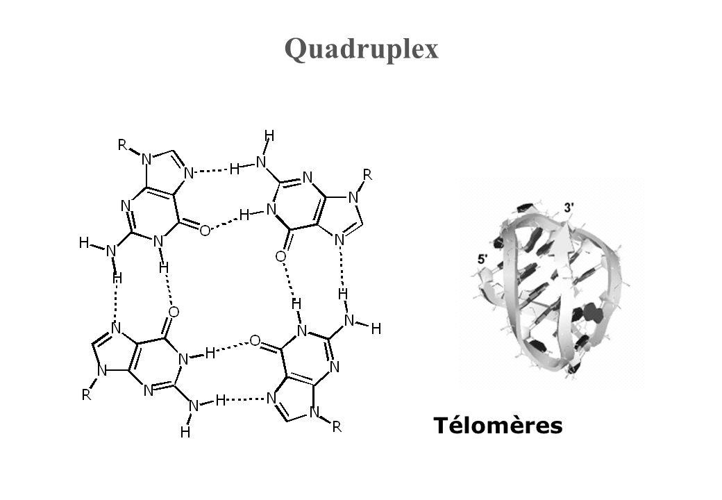 Quadruplex Télomères