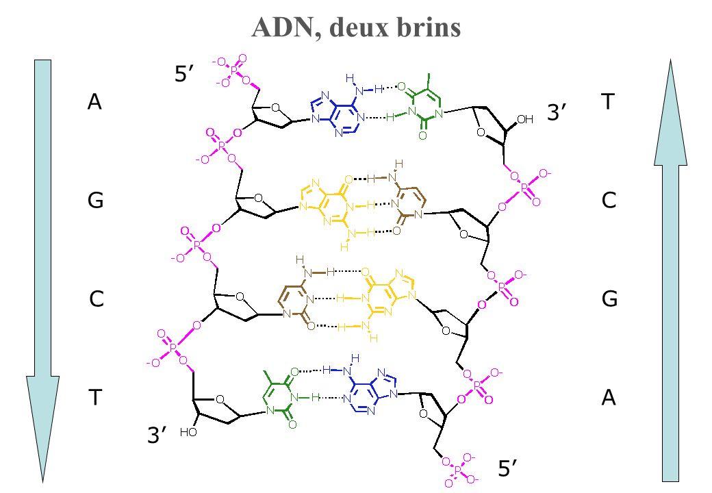 3 5 5 3 T C G A A G C T ADN, deux brins