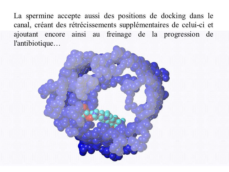 La spermine accepte aussi des positions de docking dans le canal, créant des rétrécissements supplémentaires de celui-ci et ajoutant encore ainsi au f