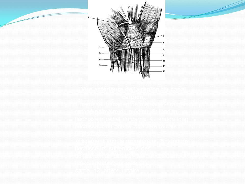 Vue antérieure de la région du canal carpien. 1: rameau thénarien du médian. 2: rameau cutané palmaire du médian. 3: tendon fléchisseur radial du carp