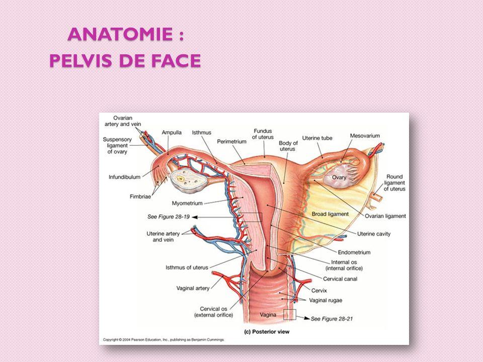 ANATOMIE : PELVIS DE PROFIL vessie utérus rectum Col de lutérus vagin