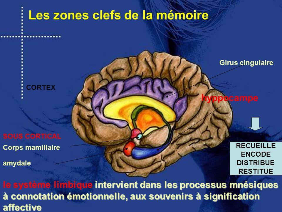 intervient dans les processus mnésiques à connotation émotionnelle, aux souvenirs à signification affective le système limbique intervient dans les pr