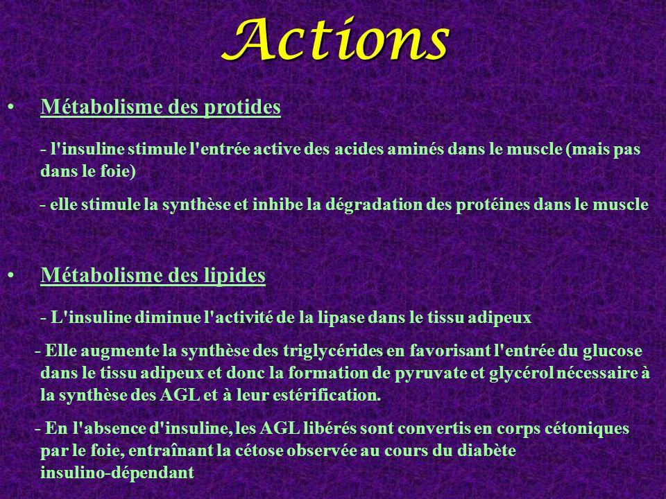 Métabolisme des protides - l'insuline stimule l'entrée active des acides aminés dans le muscle (mais pas dans le foie) - elle stimule la synthèse et i