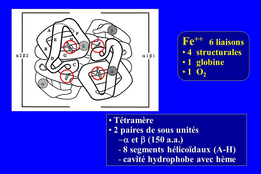 Tétramère 2 paires de sous unités et 150 a.a.) -8 segments hélicoïdaux (A-H) -cavité hydrophobe avec hème Fe ++ 6 liaisons 4 structurales 1 globine 1