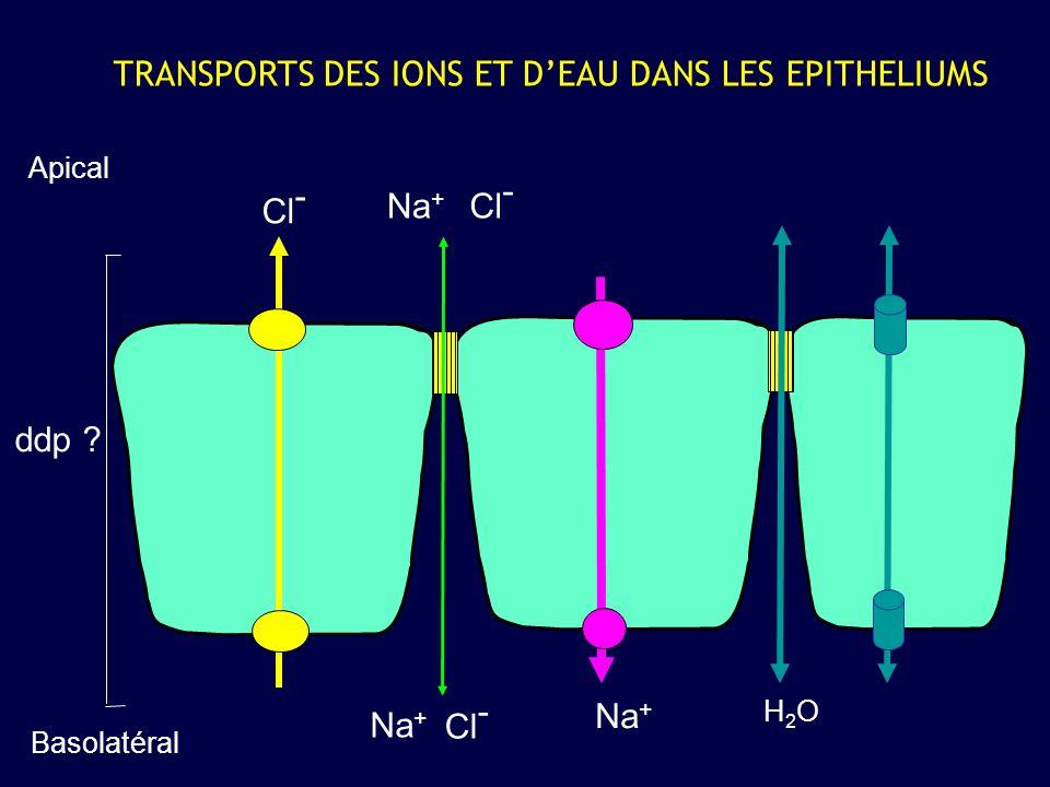 Na + H2OH2O Cl - Na + TRANSPORTS DES IONS ET DEAU DANS LES EPITHELIUMS Apical Basolatéral ddp ? Cl - Na +