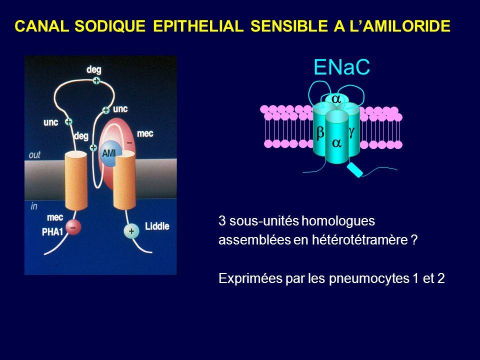 CANAL SODIQUE EPITHELIAL SENSIBLE A LAMILORIDE ENaC 3 sous-unités homologues assemblées en hétérotétramère ? Exprimées par les pneumocytes 1 et 2