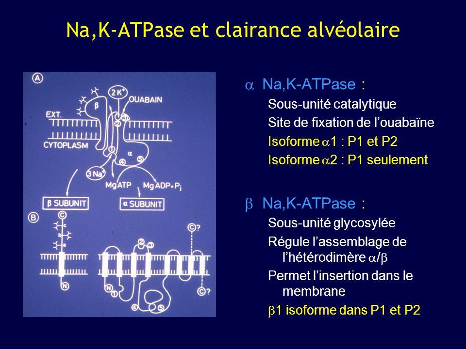 Na,K-ATPase et clairance alvéolaire Na,K-ATPase : Sous-unité catalytique Site de fixation de louabaïne Isoforme 1 : P1 et P2 Isoforme 2 : P1 seulement