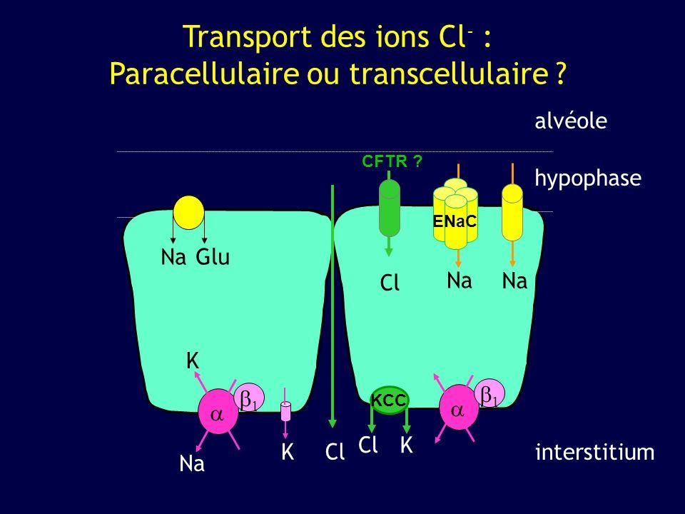 1 1 Transport des ions Cl - : Paracellulaire ou transcellulaire ? alvéole interstitium NaGlu Na K KCl hypophase Cl CFTR ? Cl K KCC ENaC