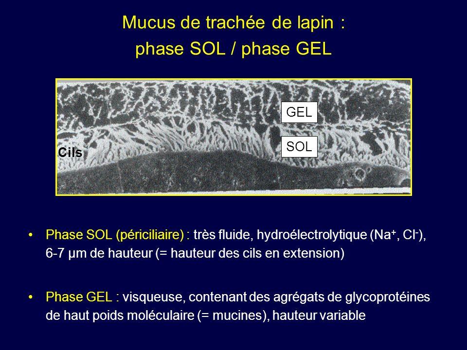 Mucus de trachée de lapin : phase SOL / phase GEL Phase SOL (périciliaire) : très fluide, hydroélectrolytique (Na +, Cl - ), 6-7 µm de hauteur (= haut