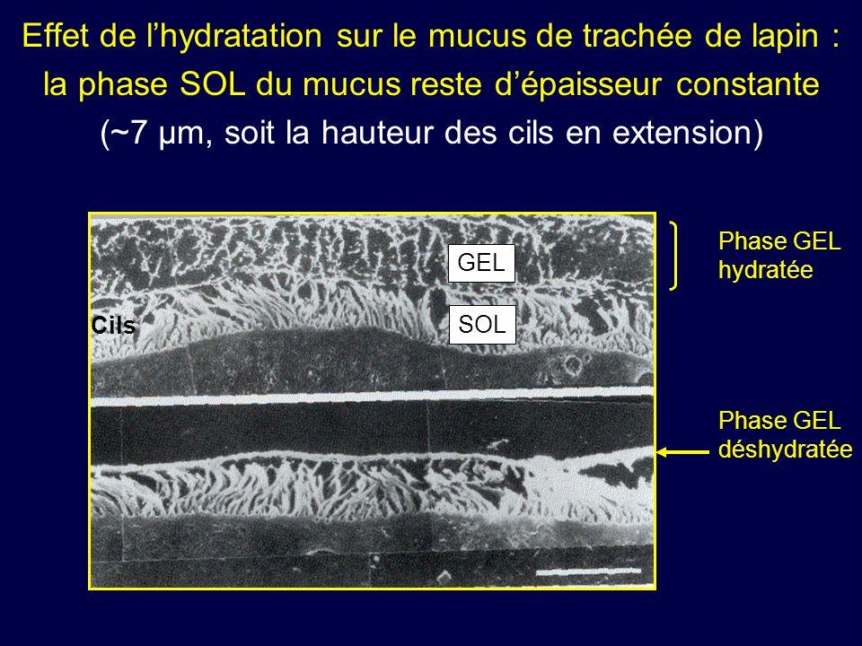 Effet de lhydratation sur le mucus de trachée de lapin : la phase SOL du mucus reste dépaisseur constante (~7 µm, soit la hauteur des cils en extensio