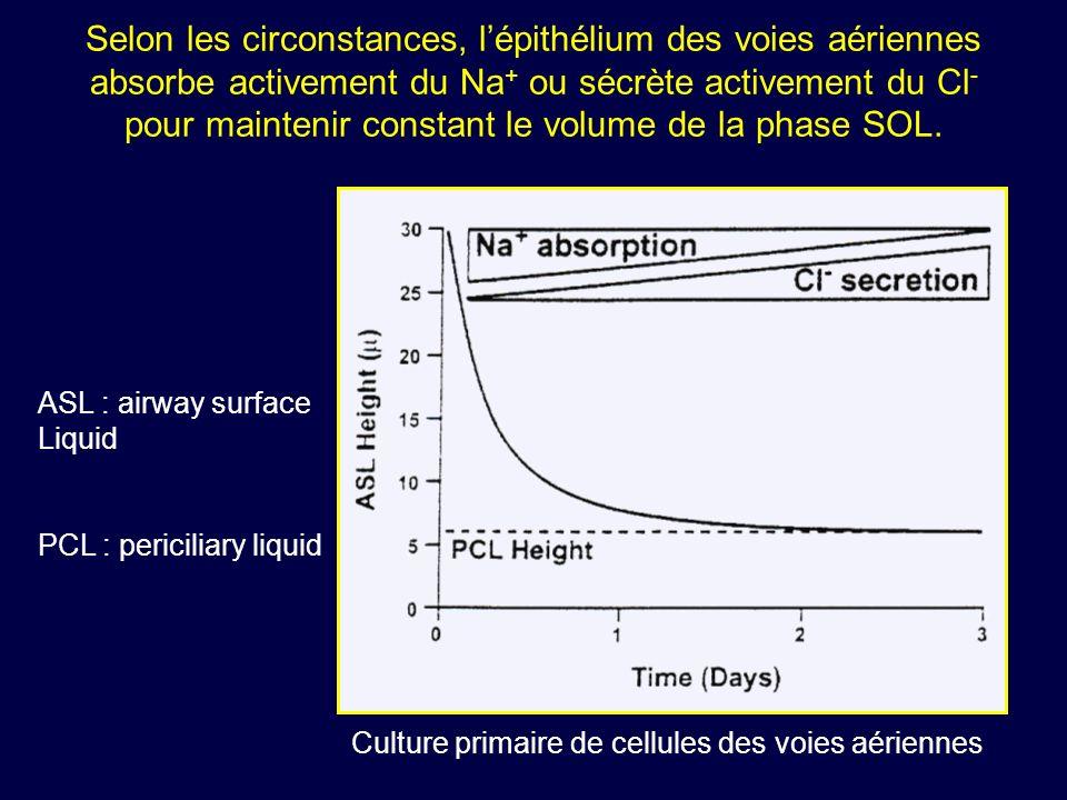 Selon les circonstances, lépithélium des voies aériennes absorbe activement du Na + ou sécrète activement du Cl - pour maintenir constant le volume de