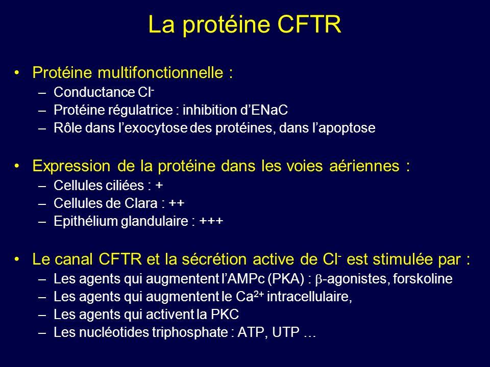 La protéine CFTR Protéine multifonctionnelle : –Conductance Cl - –Protéine régulatrice : inhibition dENaC –Rôle dans lexocytose des protéines, dans la