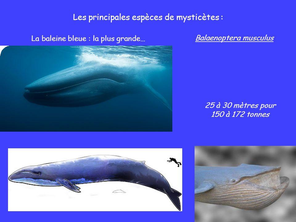 Les principales espèces de mysticètes : La baleine bleue : la plus grande… Balaenoptera musculus 25 à 30 mètres pour 150 à 172 tonnes