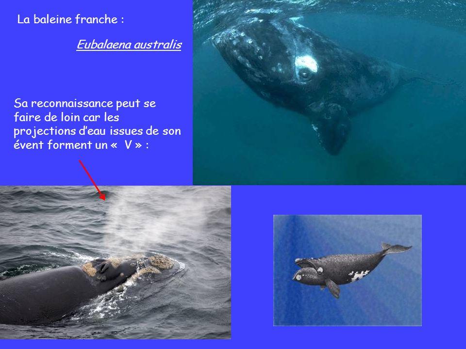 La baleine franche : Sa reconnaissance peut se faire de loin car les projections deau issues de son évent forment un « V » : Eubalaena australis