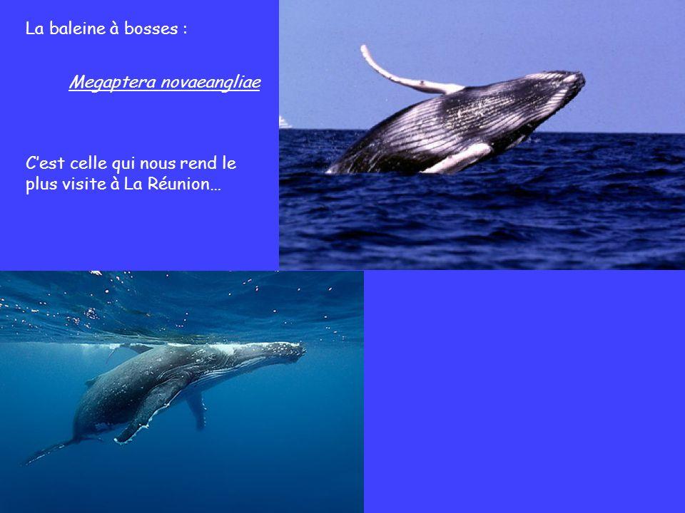 La baleine à bosses : Cest celle qui nous rend le plus visite à La Réunion… Megaptera novaeangliae