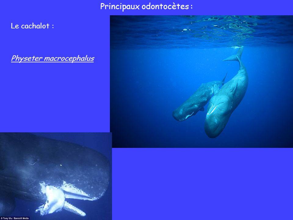 Principaux odontocètes : Le cachalot : Physeter macrocephalus