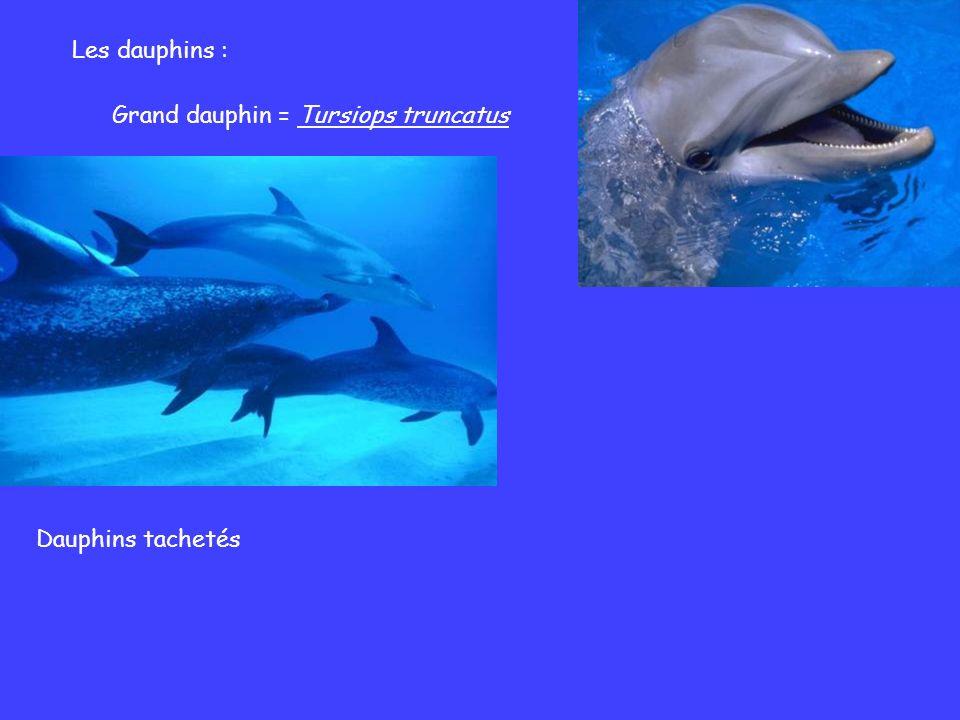 Les dauphins : Grand dauphin = Tursiops truncatus Dauphins tachetés