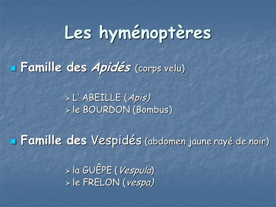 Les hyménoptères Famille des Apidés (corps velu) Famille des Apidés (corps velu) L ABEILLE (Apis) L ABEILLE (Apis) le BOURDON (Bombus) le BOURDON (Bom