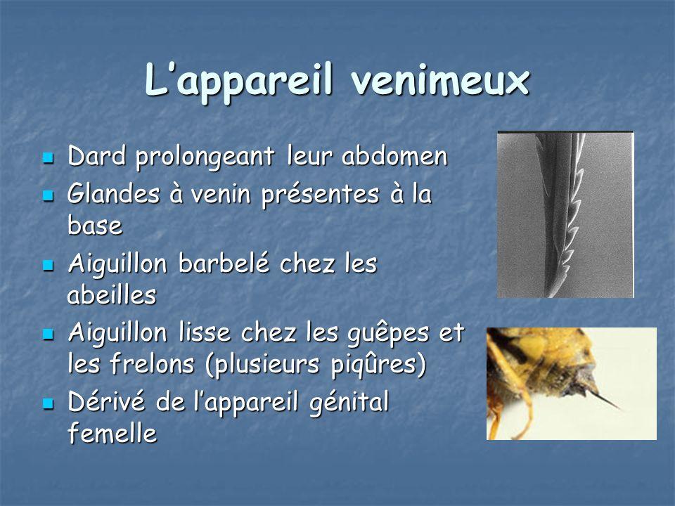 Lappareil venimeux Dard prolongeant leur abdomen Dard prolongeant leur abdomen Glandes à venin présentes à la base Glandes à venin présentes à la base Aiguillon barbelé chez les abeilles Aiguillon barbelé chez les abeilles Aiguillon lisse chez les guêpes et les frelons (plusieurs piqûres) Aiguillon lisse chez les guêpes et les frelons (plusieurs piqûres) Dérivé de lappareil génital femelle Dérivé de lappareil génital femelle