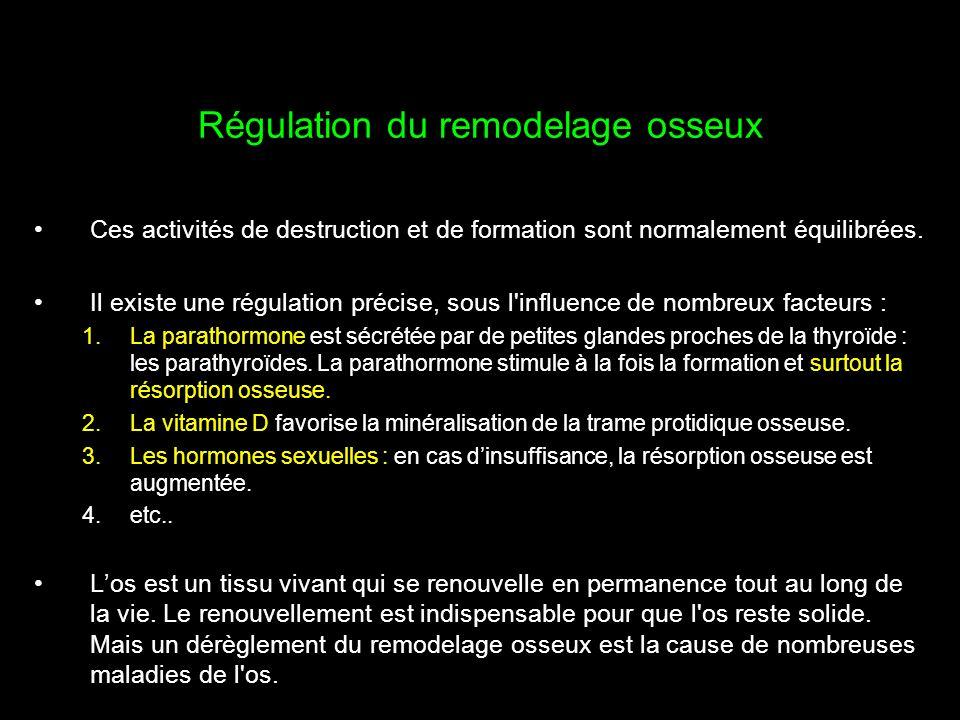 Régulation du remodelage osseux Ces activités de destruction et de formation sont normalement équilibrées. Il existe une régulation précise, sous l'in