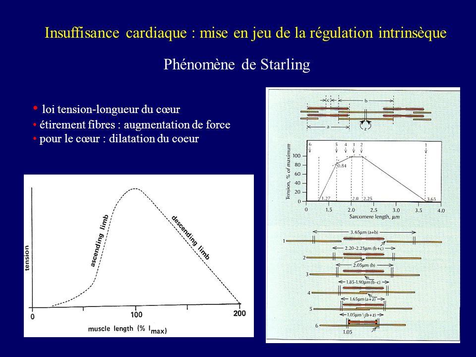 Insuffisance cardiaque : mise en jeu de la régulation intrinsèque Phénomène de Starling Dilatation du VG Dans certains cas : hypertrophie du VG (musculation du ventricule)