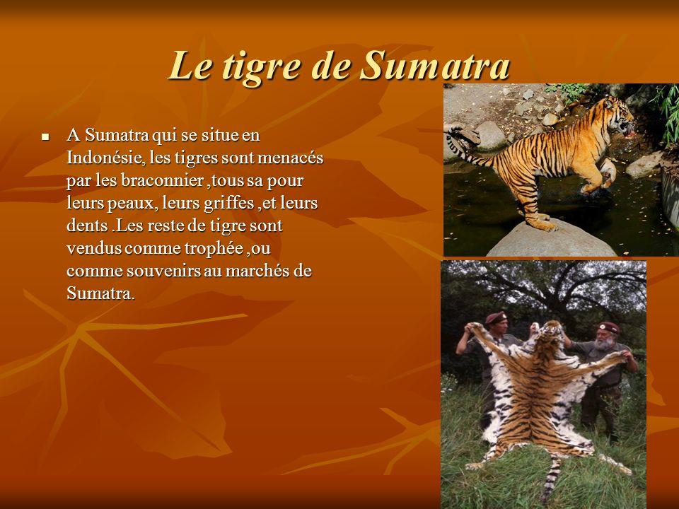 Le tigre de Sumatra A Sumatra qui se situe en Indonésie, les tigres sont menacés par les braconnier,tous sa pour leurs peaux, leurs griffes,et leurs d