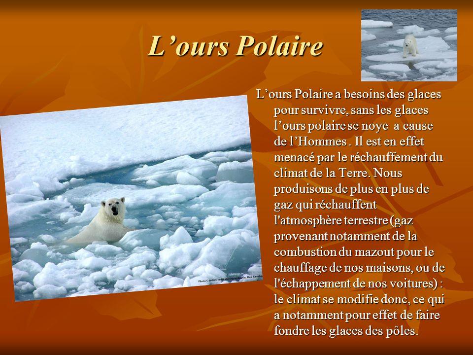 Lours Polaire Lours Polaire a besoins des glaces pour survivre, sans les glaces lours polaire se noye a cause de lHommes. Il est en effet menacé par l