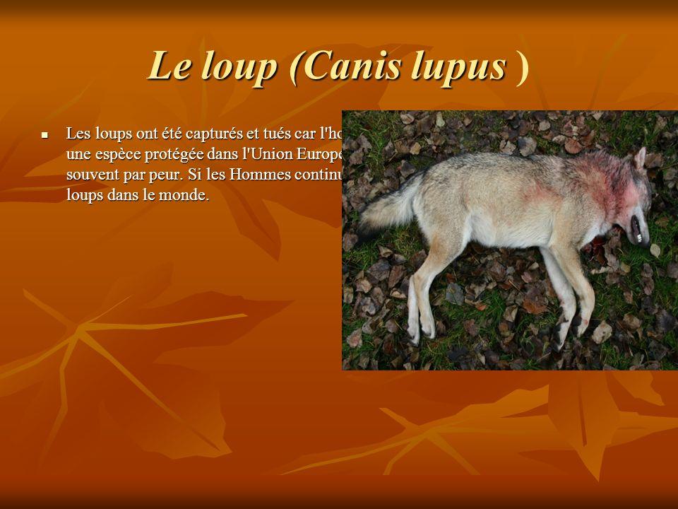 Le loup (Canis lupus Le loup (Canis lupus ) Les loups ont été capturés et tués car l'homme a toujours eu peur deux. Le loup est une espèce protégée da