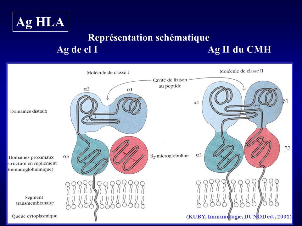 Gènes HLA Ensemble de gènes localisés sur le bras court du chr 6 Transmission des gènes du CMH selon les lois mendéliennes Transmission des gènes par Bloc = transmission des haplotypes parentaux Polymorphisme génétique