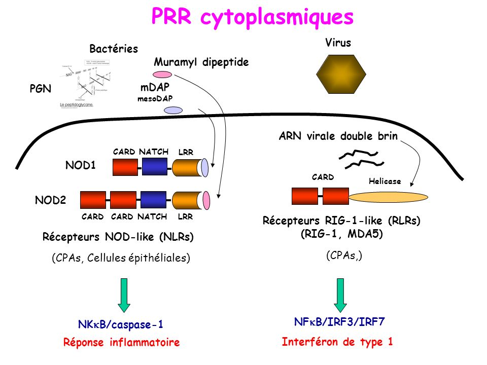 PRR cytoplasmiques Muramyl dipeptide CARD NATCH LRR CARD NATCH LRR CARD NOD1 NOD2 Bactéries PGN Récepteurs NOD-like (NLRs) NK B/caspase-1 Réponse infl