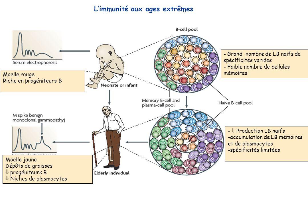 Moelle rouge Riche en progéniteurs B Moelle jaune Dépôts de graisses progéniteurs B Niches de plasmocytes - Grand nombre de LB naifs de spécificités v