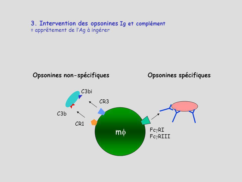 3. Intervention des opsonines Ig et complément = apprêtement de lAg à ingérer Opsonines non-spécifiquesOpsonines spécifiques m Fc RI Fc RIII CR1 CR3 C