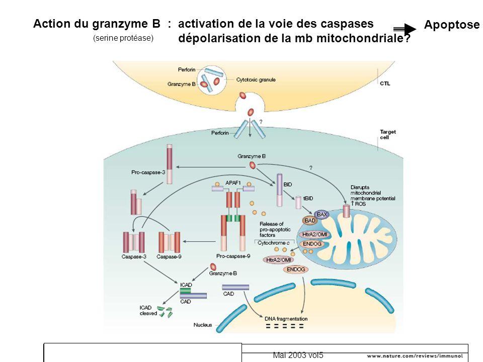 Mai 2003 vol5 Action du granzyme B : activation de la voie des caspases dépolarisation de la mb mitochondriale? Apoptose (serine protéase)