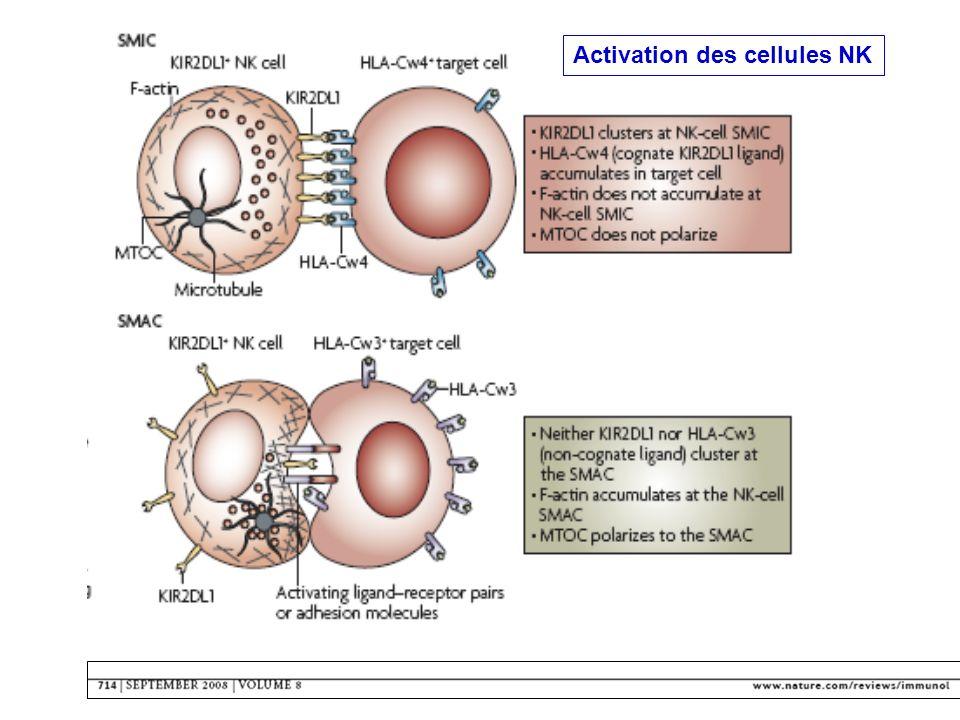 Conséquence de lactivation des cellules NK Daprès S Le Gouvello Tumor necrosis factor-Related Apoptosis-Inducing Ligand = TRAIL