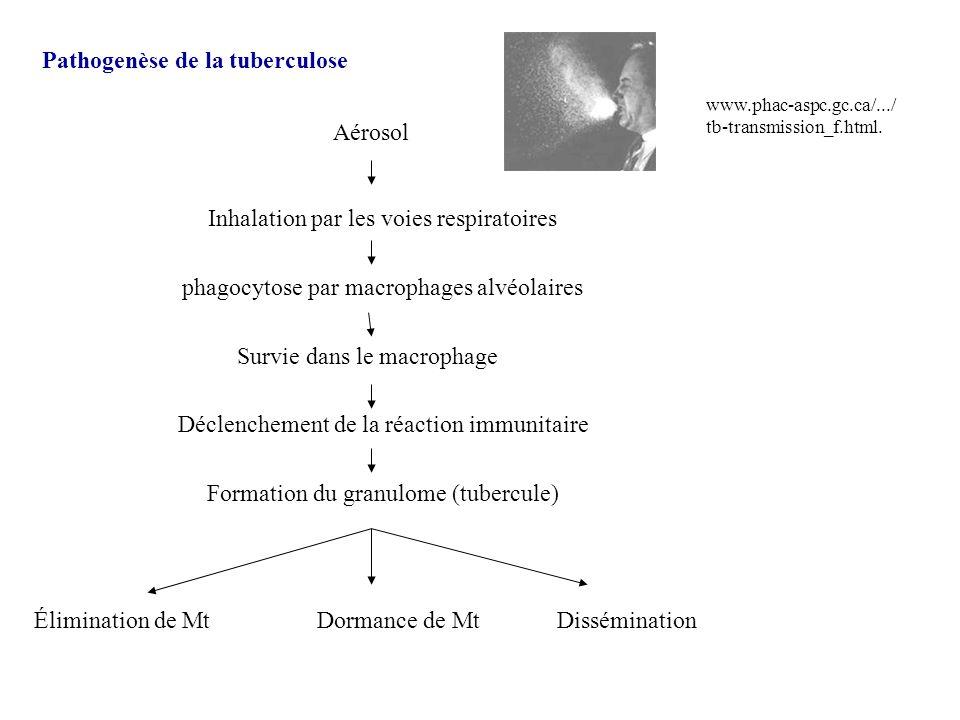 Pathogenèse de la tuberculose Aérosol Inhalation par les voies respiratoires phagocytose par macrophages alvéolaires Survie dans le macrophage Déclenc