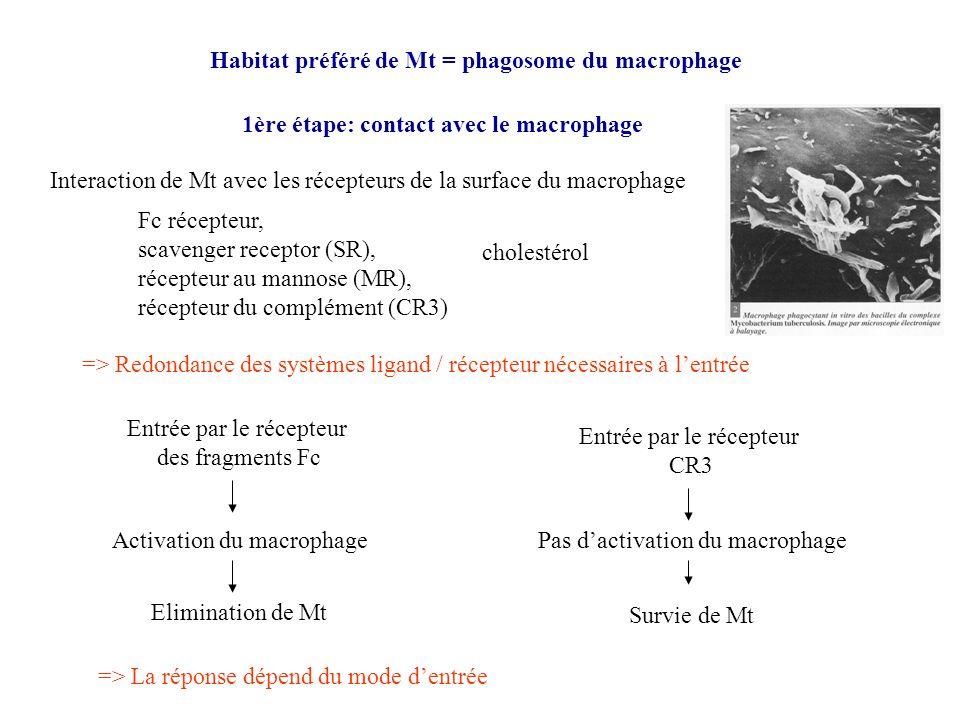 Habitat préféré de Mt = phagosome du macrophage 1ère étape: contact avec le macrophage Interaction de Mt avec les récepteurs de la surface du macropha