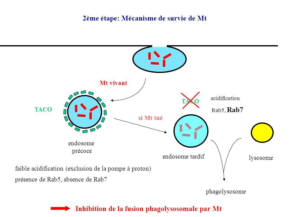 3ème étape: activation du SI M CMH II CMH I CD8 TCR T phospholigandInduction du granulome CD1 glycolipides IFN lyse IFN => rôle essentiel de l IFN TCR CD4 Th1 TNF IL-12 + + + IFN CD8 ou DN
