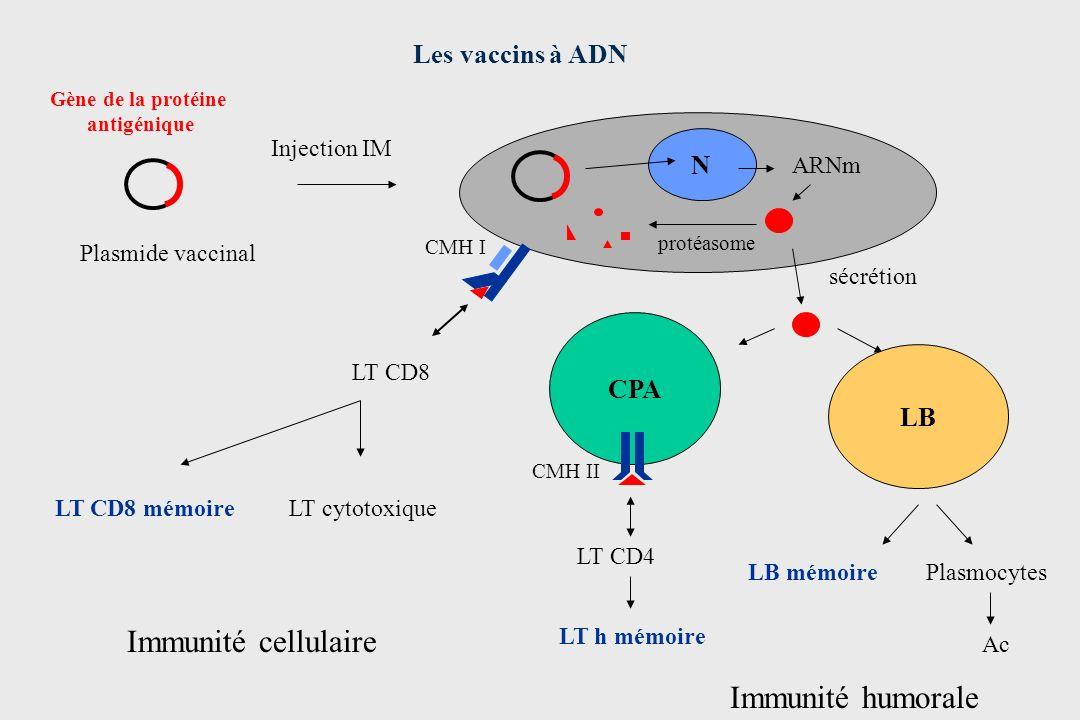 Injection IM Plasmide vaccinal Gène de la protéine antigénique sécrétion CMH I CPA CMH II Les vaccins à ADN N ARNm LT cytotoxiqueLT CD8 mémoire LB Pla