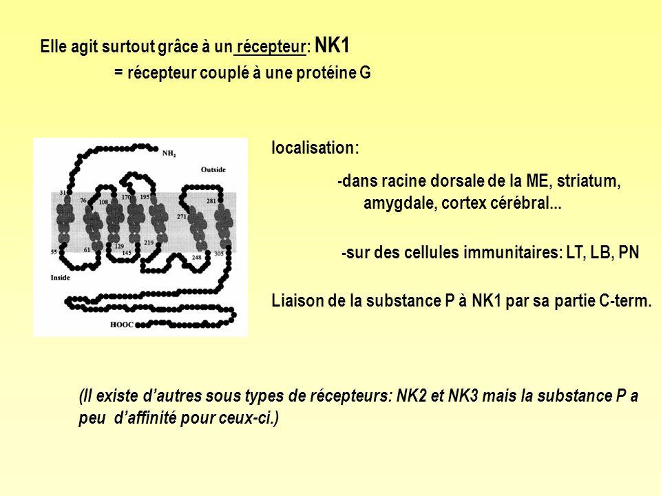localisation: -dans racine dorsale de la ME, striatum, amygdale, cortex cérébral... -sur des cellules immunitaires: LT, LB, PN Liaison de la substance