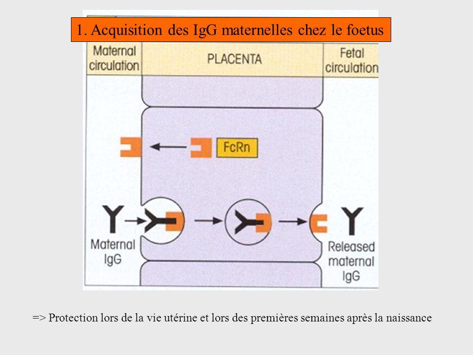 1. Acquisition des IgG maternelles chez le foetus => Protection lors de la vie utérine et lors des premières semaines après la naissance