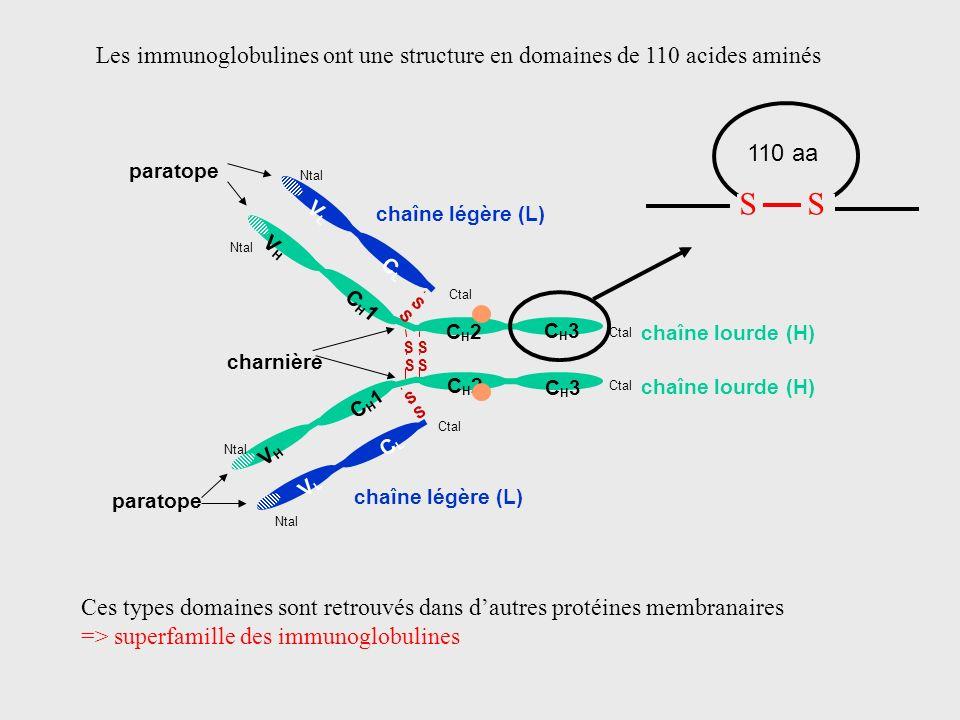 chaîne lourde (H) CH2CH2 CH2CH2 CH3CH3 CH3CH3 CH1CH1 VHVH VHVH Ctal CH1CH1 S S S S S S S S Ntal chaîne légère (L) CLCL VLVL Ntal Ctal chaîne légère (L
