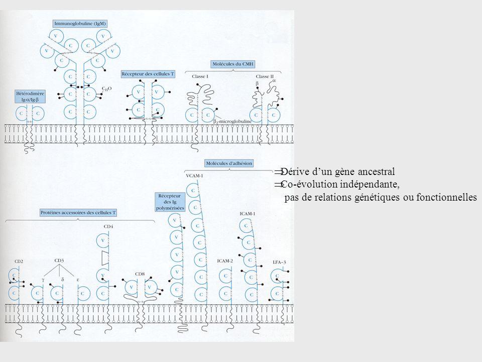 Dérive dun gène ancestral Co-évolution indépendante, pas de relations génétiques ou fonctionnelles