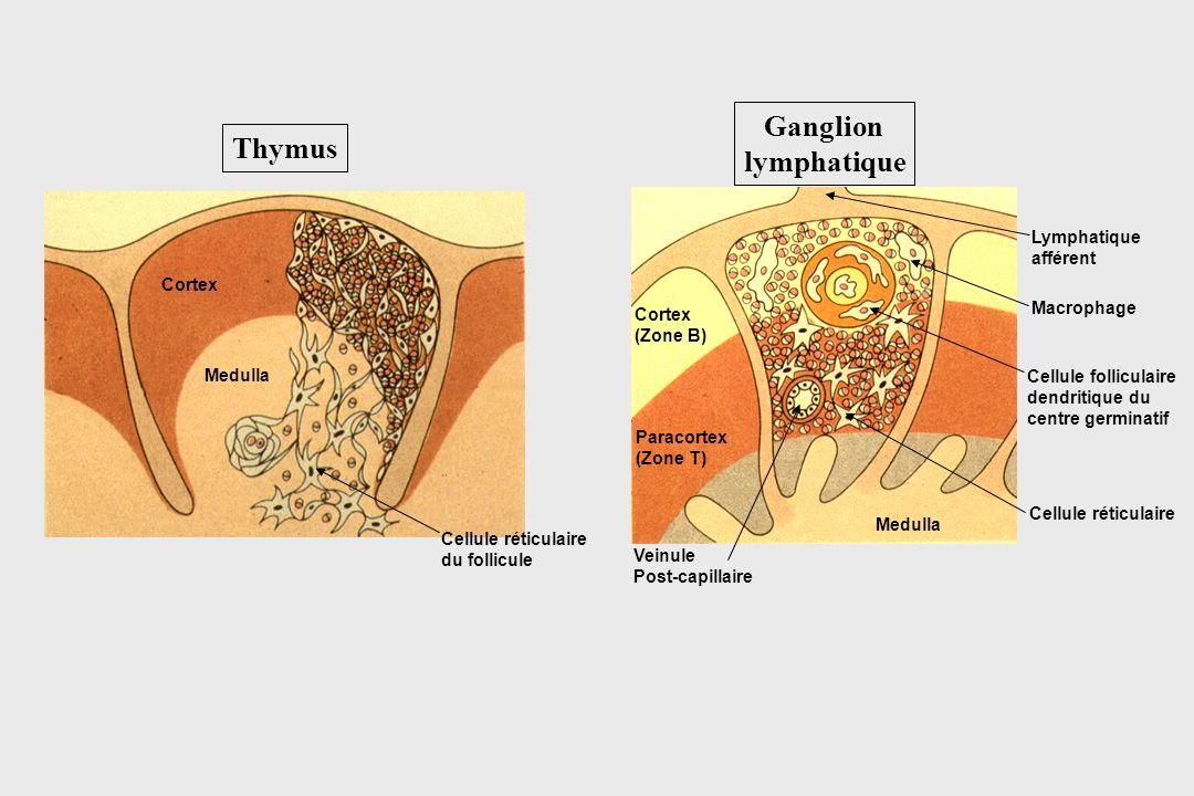 Ganglion lymphatique Cortex (Zone B) Paracortex (Zone T) Medulla Lymphatique afférent Macrophage Cellule folliculaire dendritique du centre germinatif