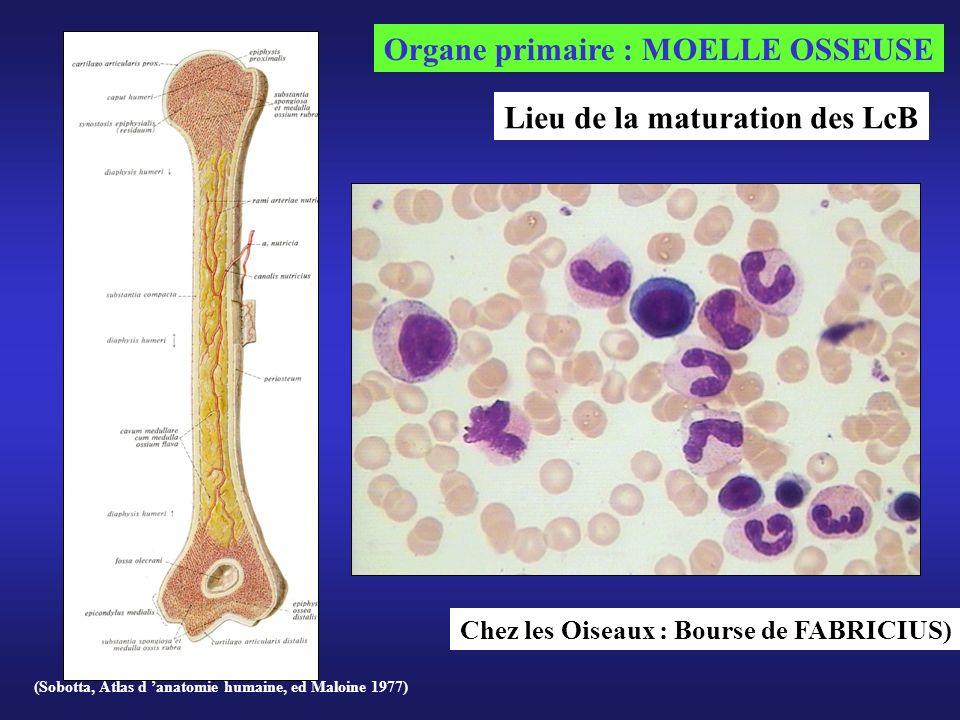 (Sobotta, Atlas d anatomie humaine, ed Maloine 1977) Organe primaire : MOELLE OSSEUSE Chez les Oiseaux : Bourse de FABRICIUS) Lieu de la maturation de