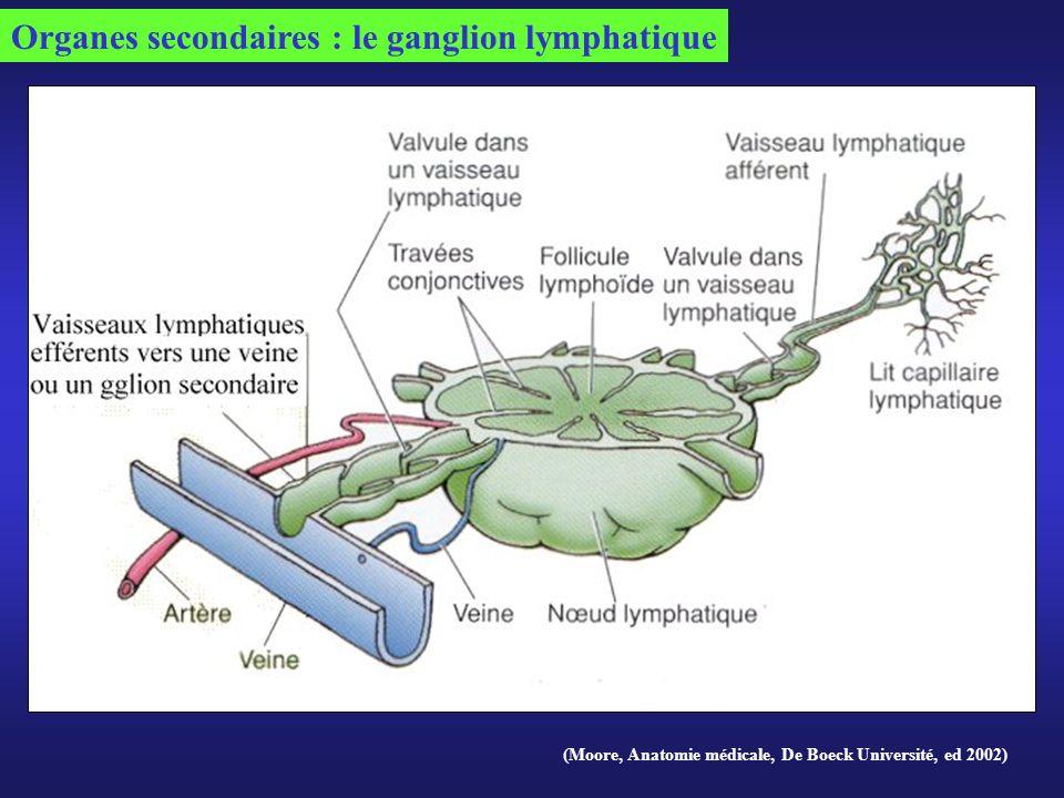 (Moore, Anatomie médicale, De Boeck Université, ed 2002) Organes secondaires : le ganglion lymphatique