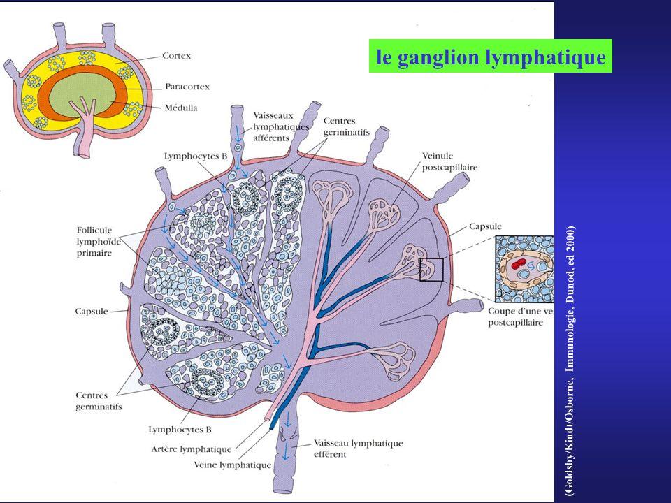 (Goldsby/Kindt/Osborne, Immunologie, Dunod, ed 2000) le ganglion lymphatique