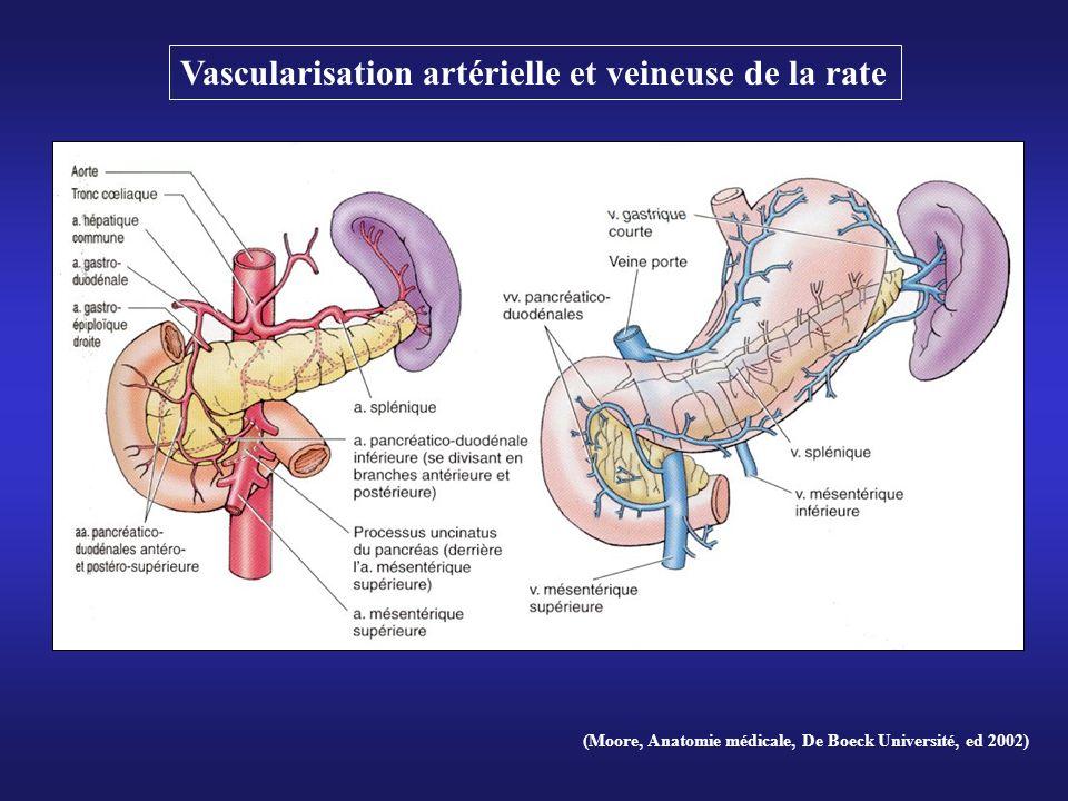 (Moore, Anatomie médicale, De Boeck Université, ed 2002) Vascularisation artérielle et veineuse de la rate